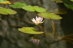 Pink waterlily (JPShen) Tags: pink reflection leaf pond waterlily floating lilypond