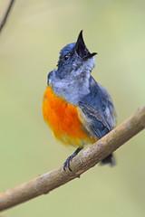 Orange-bellied Flowerpecker (Dicaeum trigonostigma) (oliveback) Tags: handheld bbnp d7100 200500mmf56