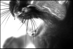 The Cat IV (Josh Rokman) Tags: cat housecat snarl growl lion tiger animal pet feline whiskers yawning yawn nikond7000