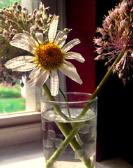 Garlic and Daisy (tisatruett) Tags: light shadow stilllife flower window water pretty blossom daisy garlic vase lovely windowsill