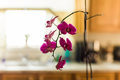6.25.16 (Josh Meek) Tags: flowers orchid window nature 50mm purple bokeh indoors blooms brenizermethod