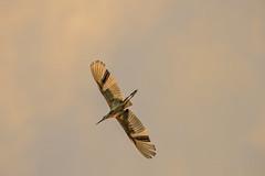 Heron Nation 06.25.2016.02 (nwalthall) Tags: sanantonio herons egrets