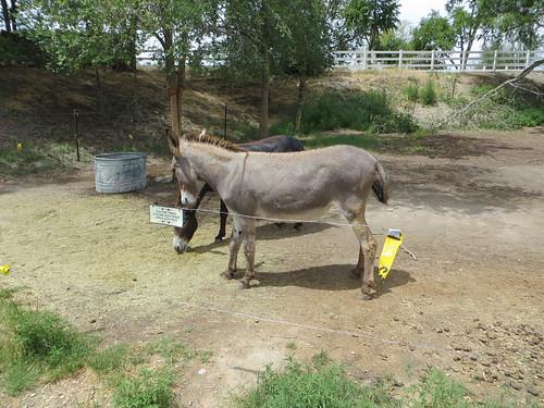 Gray mule