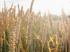 Weizen im Gegenlicht (Andrea Schunert) Tags: weizenfeld field wheat backlight gegenlicht sonne sunshine nature