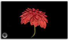 Rain washed pretty Red Dahlia Flower of Janjehli, Himalayas! (FotographyKS!) Tags: travel dahlia flowers plant flower detail macro texture nature floral beautiful closeup blackbackground 35mm wow botanical photography drops spring saturated stem flora nikon pretty pattern natural bright blossom gardening outdoor vibrant background vivid drop depthoffield petal growth tropical bloom bud nikkor multicolored mothernature isolated freshness summers rainwater blooming moist flowerhead naturephotography flowerabstract singleflower travelphotography beautyinnature redcolor flowerbackground natureabstract janjehli naturebackground 35mmf18g