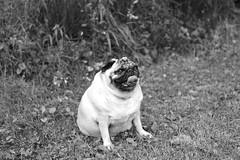 Carlino (Mi-Fo-to) Tags: portrait dog tongue cane fat pug lingua ritratto carlino obeso mifoto dsc02073