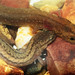 Ouachita Streambed Salamander and Many-ribbed Salamander