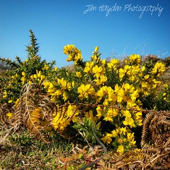 Flowering Gorse at Bosherston Lilyponds and Broadhaven South (JimHaydenPhotography) Tags: flowers flower wales spring south nationaltrust pembrokeshire broadhaven springtime gorse bosherston broadhavensouth ntwales broadhavensouthbeach jimhaydenphotography