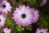 flower in my garden (enrico cinti) Tags: leica zeiss m carl 20 summar proxar 5cm typ240