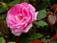 Pink Rose (pat.bluey) Tags: pink rose australia newsouthwales 1001nights waterdrops mygarden 1001nightsmagiccity