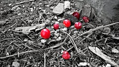 Berries (allyapa) Tags: red bw macro nokia berries 830 lumia