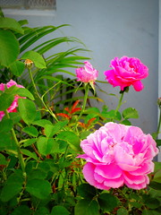 Fases da Rosa (biaah_paulla) Tags: brazil flores planta nature beautiful brasil photography flickr sony natureza flor igreja bahia beleza gentiodoouro