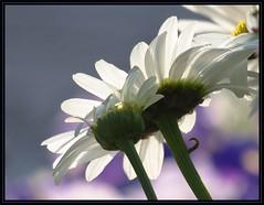 IMG_0488 Got Daisies' Back 7-21-14 (arkansas traveler) Tags: flowers nature daisies zoom bokeh backlit backlighting bokehlicious naturewatcher