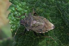 Bronze Shieldbug, Glasson Moss, 8 April 15 (gillean55) Tags: camera bridge macro nature bronze canon moss north reserve powershot cumbria hs shieldbug glasson superzoom nnr troilus luridus sx50