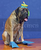 D4504 (judyreinen) Tags: dog pets cute animals advertising photography funny humorous englishmastiff stock canine dogphotos judyreinen judyreinencom