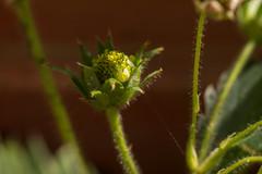 _DSC4402 (Simply Angle) Tags: plants plant nature closeup garden outside outdoors spring strawberry sony vegetable cobweb wa deerpark 2015 furit canonfd100mmf4macro nex3 nexfd simplyangle