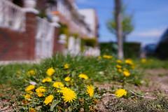 Spring 15 in New York (Z!SL) Tags: street nyc newyorkcity flowers newyork nature brooklyn cityscape dof bokeh sony depthoffield carlzeiss bokehwhores bokehwhore sonyphotographing minoltaemount sel24f18z sonnarte1824 nex5r sonnar2418za