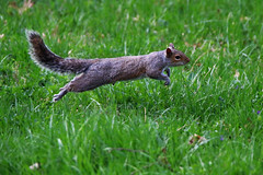 bounding squirrel IMG_0468 (robertskirk1) Tags: nature animal virginia squirrel wildlife va animalplanet mclean planetearth defendersofwildlife fantasticnature kentgardenspark natueplanet