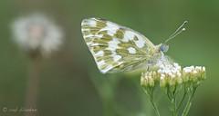 Bath White (Pontia daplidice, resedawitje) (Rob Blanken) Tags: nikon bathwhite nikon105mm pontiadaplidice dagvlinders resedawitje d7000 oostelijkresedawitjepontiaedusa
