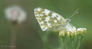 Bath White (Pontia daplidice, resedawitje)