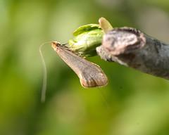 Nematopogon swammerdamella (Ian Redding) Tags: uk nature fauna insect moth british invertebrate arthropod wildife