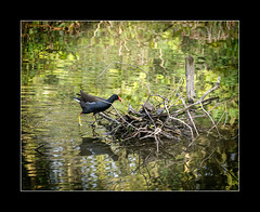 moorhen (tkimages2011) Tags: camera water digital nest olympus sankey valley sthelens merseyside moorhen em10 sankeyvalley