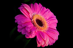 Smooth Pink Gerbera 413 (Tjerger) Tags: pink plant flower macro nature leaves closeup blackbackground wisconsin petals spring smooth gerbera stamen daisy bloom pistals
