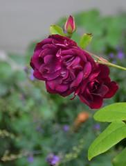 NZA-05 - 2015-02-26 - DSC_7647 (bix02138) Tags: newzealand flora northisland napier february26 2015 napiernewzealand aotearoanewzealand clivesquare day5newzealandaustralia2015