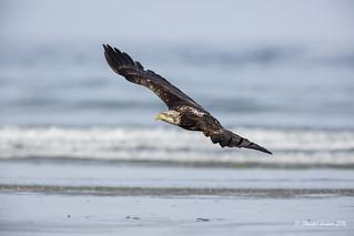 Flying Bald Eagle, Tofino, BC