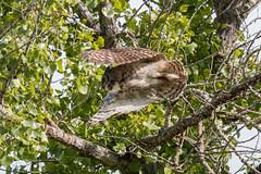Adult Great Horned Owl in flight