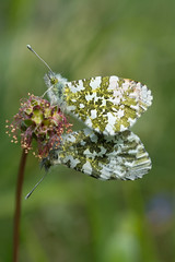 Orange tips (gillian.pullinger) Tags: nature butterfly insect wildlife butterflies hampshire mating copulating orangetip stockbridgedown