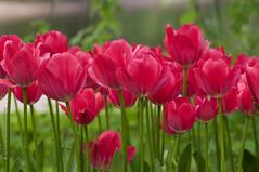 Tulip Festival in Saint Petersburg (Svetlana Serdiukova) Tags: street flowers red flower outside nikon bright russia outdoor event tulip saintpetersburg nikkor 70300mm tulipfestival d300 f4556 nikonafs nikonafs70300mmf4556 svetlanaserdiukova