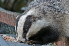 up close............... (Suzie Noble) Tags: garden mammal peanuts badger mustelid compostbin sunflowerseeds strathglass struy