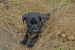 """labradorbaby • <a style=""""font-size:0.8em;"""" href=""""http://www.flickr.com/photos/137809870@N02/26819816242/"""" target=""""_blank"""">View on Flickr</a>"""
