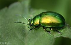Leaf Beetle (ellie.taylor30) Tags: macro nature nikon sigma sigma105 flickrnature nikonnaturephotography macrodreams
