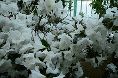 Royal Greenhouses (larry_antwerp) Tags: brussels belgium belgi brussel  laken royalgarden         koninklijkeserre