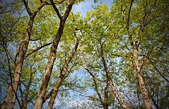 They're Back!! (SurFeRGiRL30) Tags: trees greenleaves sun beautiful leaves sunshine clouds outside newjersey spring woods warm branches awesome nj sunny bluesky symmetry symmetrical tall blueskies myfavorite rebirth majestic 2016 awesomesauce leavesontrees jvbphotography