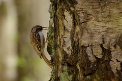 IMGP9314 Treecreeper, The Lodge, Sandy, April 2016 (bobchappell55) Tags: wild bird nature wildlife sandy reserve treecreeper thelodge rspb