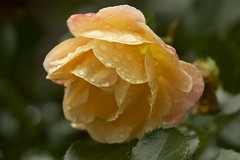 yellow rose after the downpour (Pejasar) Tags: flowers oklahoma nature wet water rain rose yellow garden blossom bloom raindrops tulsa