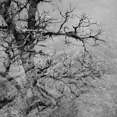 Daun - Mandersheid DSCF5748ir_4 (Denkrahm) Tags: bw tree rock forest dark roots eifel schiefer dubbleexposure eifelsteig fujixpro1 lieserpad