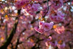 Cherry Blossom (Patrick_Down) Tags: uk flowers scotland spring edinburgh cherryblossom themeadows coronationwalk
