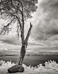 Madrona Sound 2 (mjardeen) Tags: blackandwhite bw white black tree texture water rock clouds contrast landscape ir island washington conversion sony 28mm ivy infrared wa converted madrona tacoma fe f28 northend vashon 282 a7ii 720nm lifepixel landscapesshotinportraitformat a7m2 ilce7m2 sonyfe28mmf28
