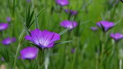 Nostalgia (Zsofia Nagy) Tags: flowers plant flower green fleur garden focus dof purple outdoor depthoffield nostalgia week48 7daysofshooting focusfriday d3100
