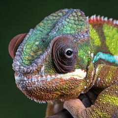 Panther chameleon (hehaden (away for a week)) Tags: macro face square head reptile chameleon bournemouth pantherchameleon furciferpardalis captivelight