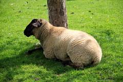 De la belle laine de mouton !! (Barnie76@ ,) Tags: normandie animaux mouton herbage laine pr seinemaritime canon60d montmain