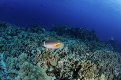 fish on mesa (b.campbell65) Tags: kona animal background beautiful big blue coral coralheads dive divers diving fish hawaii island isolated lavarocks marine natural nature ocean pacific reef reeffish scuba sea seascape swim swimming travel tropical underwater water wild wildlife