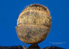 Bunda da Formiga Dourada magnificao 5:1 (Jefferson Allan - Photographer) Tags: macro natureza infrared paisagens fotografiacampinas empilhamentodefoco jeffersonallan fotografojeffersonallan