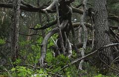 fort (bulbocode909) Tags: nature suisse vert arbres printemps valais sauvage troncs forts