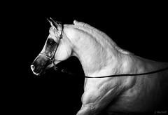 HMT Amreeka Ahlam (Jen MacNeill) Tags: show blackandwhite bw horse lexington ky arab arabian stallion equine straightegyptian egyptianevent