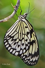paper kite butterfly (idea leuconoe) (Colin Pacitti) Tags: butterfly insect ngc npc idealeuconoe paperkite coth coth5 sunrays5